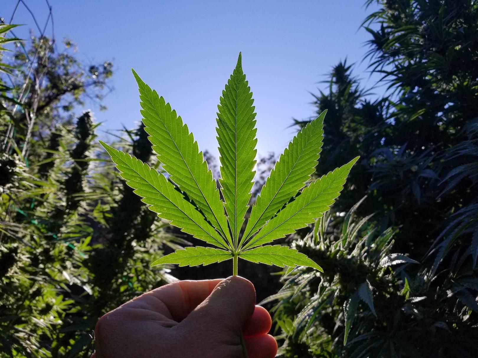 Uprawa Marihuany na Dworze, Czyli Outdoor, Narkus